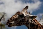 Giraffe (2) –Copy