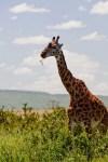 giraffe – Copy