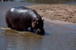 Hippo – Copy