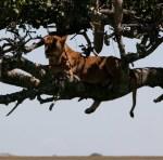 Lion resting –Copy