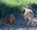Lions courting