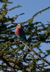 Serengeti bird –Copy