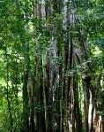 Three Thousand year oldtree